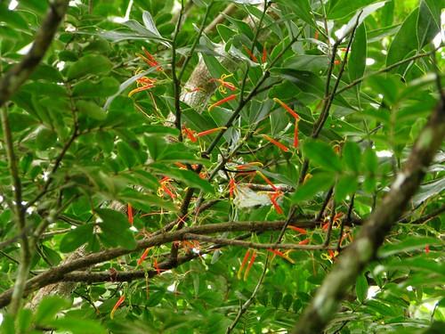Psittacanthus sp