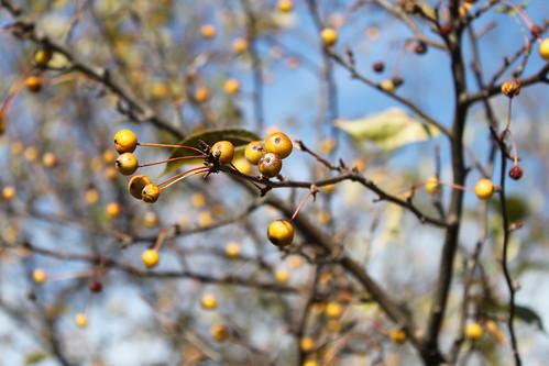 UW Arboretum - Yellow Berries