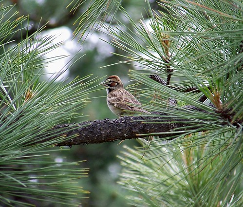 Sparrow in a pine