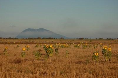 Sunflowers with Lummi Peak