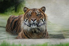 Sumatra Tiger Amir im Howletts Wild Animal Park