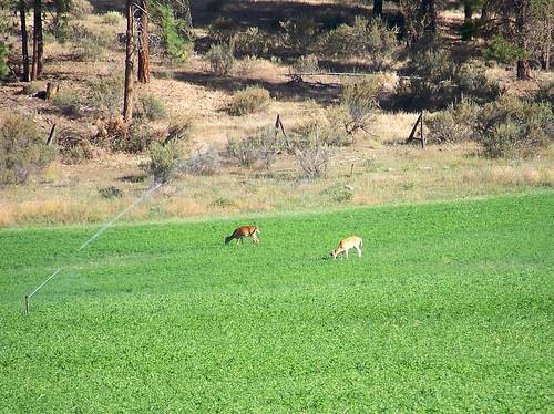 Alfalfa & White-tails