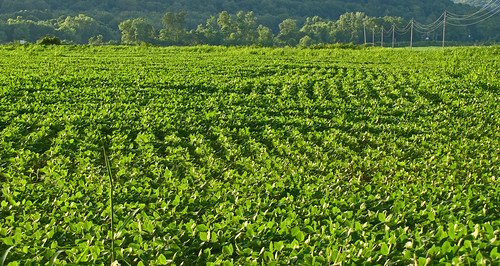 Thriving Soybeans