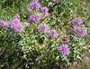 IMG_4702 - Monarda fistulosa: Horsemint; Western Wild Bergamot; Bee Balm; Purple B.B.; Mintleaf B.B.; Oswego-tea by Hughman being...