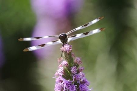 Dragonfly on blazing star in Vorhees' garden