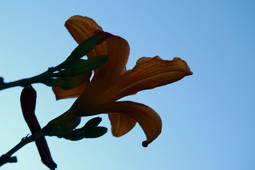 lilies touch the sky 2