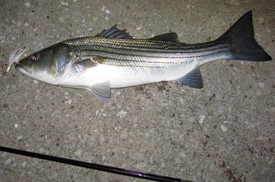 bass_31