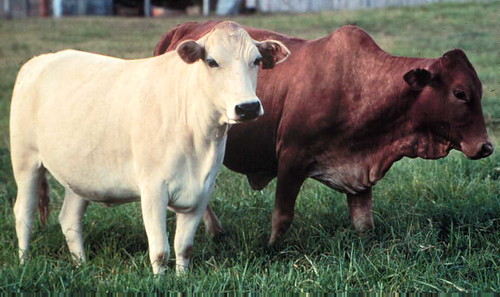West Africa's ancient (humpless) N'Dama and East Africa's Improved Boran cattle