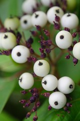 Red-Osier Dogwood Berries