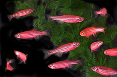 GM zebra danio fish