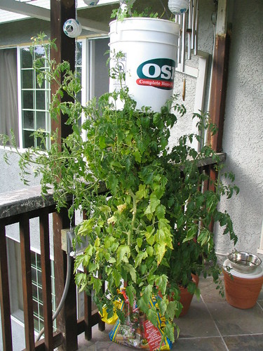 upsidedown tomato plant @ 100 days by thomas pix.