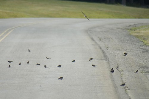 Swallows in the road