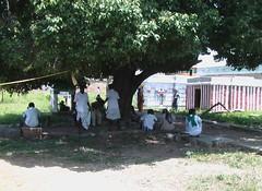 Sthala Vruksham - Mahizha Tree