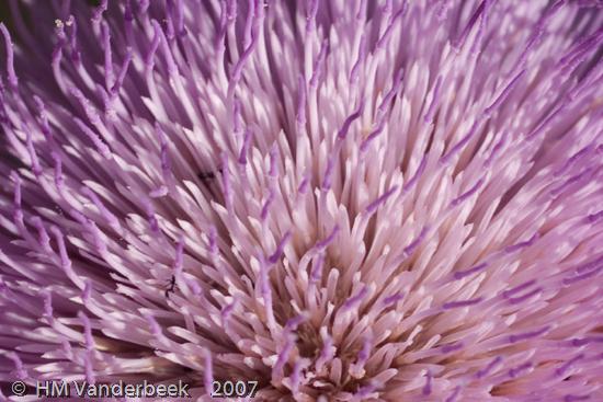 Flower or Sea Anemene