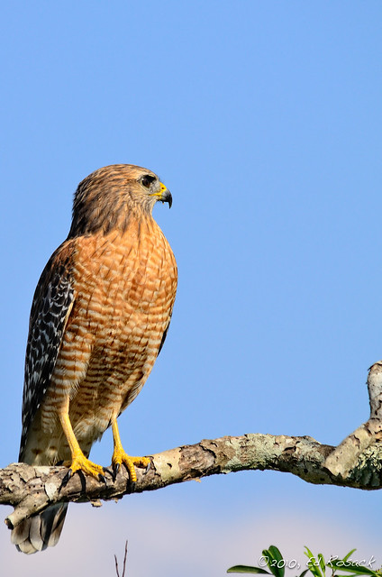 Red-shouldered Hawk, D7000 at ISO 220, full resolution, cropped