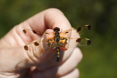 Calico Pennant Female