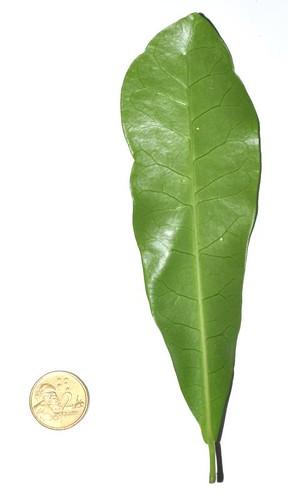 Codiaeum variegatum var. moluccanum