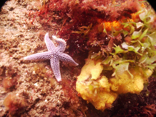Northern Sea Star