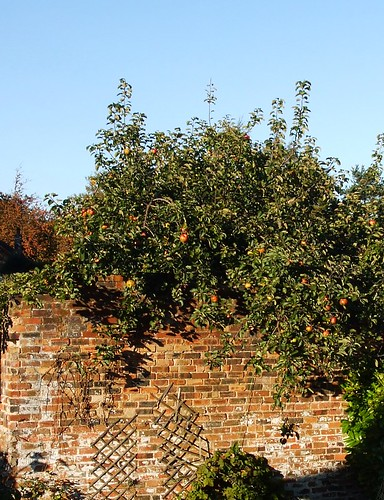 """""""our"""" apple tree"""
