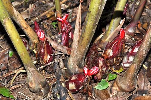 Hornstedtia scottiana