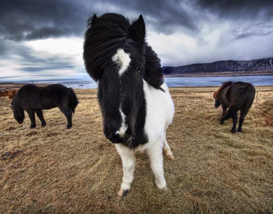 Wild Icelandic Furbeasts