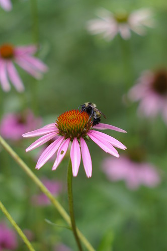 coneflower with bee 2