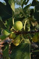 Figs, Croatia