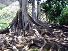 Allerton Garden - Morton Bay Fig Trees
