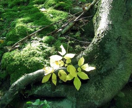 black birch with wild sarsaparilla