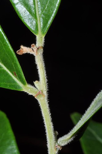Glochidion phillipicum