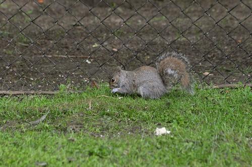 Graues Eichhörnchen im Howletts Wild Animal Park
