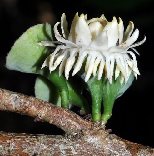Eupomatia laurina (Native Guava)