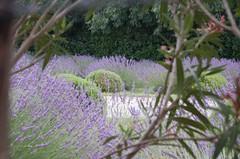 Lavender in a hidden garden behind Asylum of Saint-Paul-de-Mausole near Saint-Rémy