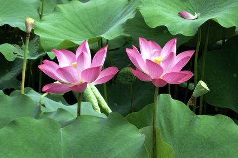 Lotus Pond10