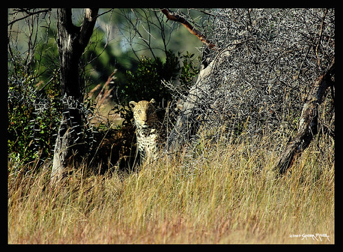 AND HERE HE IS...WE TRACKED THE MALE LEOPARD DOWN FROM HIS TRACKS
