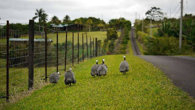 Guinea Fowl Take a Walk