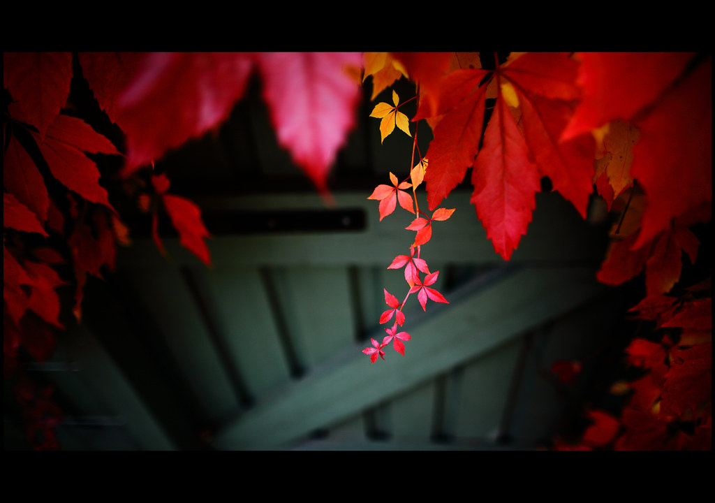 parthenocissus in my garden