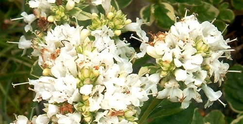 Flowering Marjoram