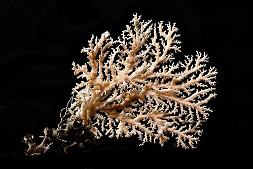 Lace Coral