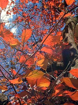 dogwood fall