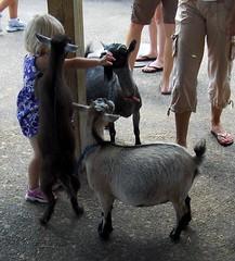 Goat Attack!