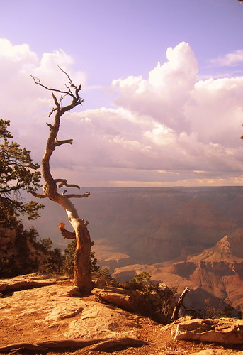 Dead Tree at Grand Canyon