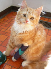 kitten with cast