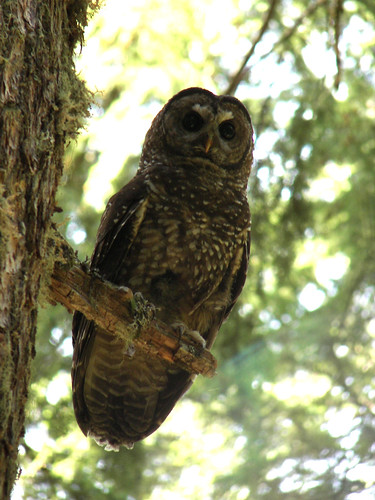 Female Spotted Owl