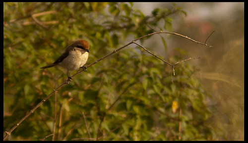 Brown Shrike by Sushil