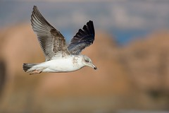 Yellow-legged Gull | medelhavstrut | Larus michahellis