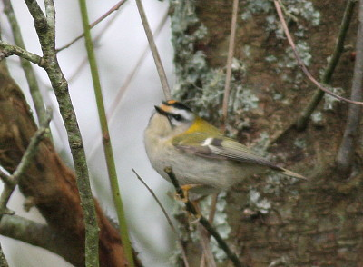 "Firecrest, Saltash, 28.02.16 (C.Buckland) • <a style=""font-size:0.8em;"" href=""http://www.flickr.com/photos/30837261@N07/24773771594/"" target=""_blank"">View on Flickr</a>"