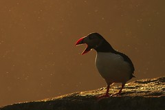 Atlantic Puffin backlit in rain