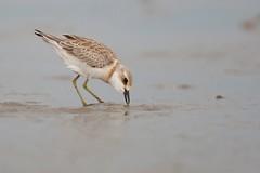 Greater Sand Plover | ökenpipare | Charadrius leschenaultii | Jiangsu, China | juvenile