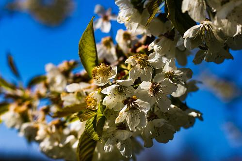 Les cerises font le printemps
